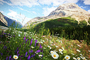 Alberta Landscape Photos - Field of daisies and wild flowers by Sandra Cunningham