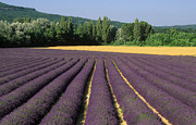 Medicines Photos - Field of lavender. Provence by Bernard Jaubert