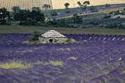 Sault Framed Prints - Field of lavender. Sault Framed Print by Bernard Jaubert