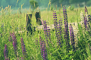 Beautiful Prints - Field of lupin flowers  Print by Sandra Cunningham