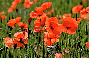 Blurred Motion Framed Prints - Field of poppies. Framed Print by Bernard Jaubert
