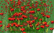 Dessie Durham Art - Field of Red Poppies by Dessie Durham