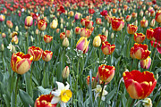 Flowering Tree Posters - Field Of Tulips Poster by Joana Kruse