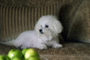 Happy Puppy Prints - Fifi the Bichon Frise  Print by Michael Ledray
