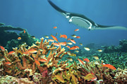 Coral Reef Prints - Fishes and manta ray Print by MotHaiBaPhoto Prints