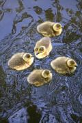 Baby Bird Posters - Five Goslings In The Water Poster by Craig Tuttle