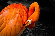 Birds Photos - Flamingo by Craig Perry-Ollila