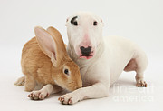 House Pets Posters - Flemish Giant Rabbit And Miniature Bull Poster by Mark Taylor