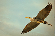 Great Blue Heron Photos - Flight Of Fancy by Fraida Gutovich