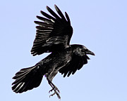 Corvus Brachyrhynchos Prints - Flight time Print by Carl Jackson