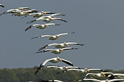Flying White Pelicans Framed Prints - Flock Of American White Pelicans Framed Print by Klaus Nigge