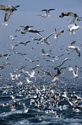 Flying Seagull Prints - Flock of seagulls in the sea and in flight Print by Sami Sarkis