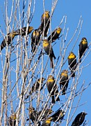 Flocks Posters - Flock Of Yellow-headed Blackbirds Poster by Bob Gibbons