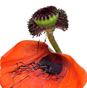 Poppy Photo Metal Prints - Flower poppy in studio Metal Print by Bernard Jaubert