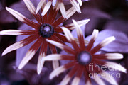 Guides Metal Prints - Flower Rudbeckia Fulgida In Uv Light Metal Print by Ted Kinsman