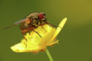 Jouko Mikkola Metal Prints - Fly on a buttercup Metal Print by Jouko Mikkola