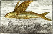 Fish In Ocean Framed Prints - Flying Fish, 17th Century Artwork Framed Print by Middle Temple Library