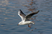 Laughing Prints - Flying Gull Print by Michal Boubin