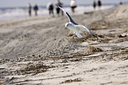 Seagull Photos - Flying seagull by Cristina Lichti