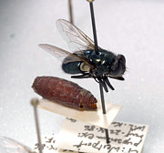 Law Enforcement Prints - Forensic Helpers, Black Blow Fly Print by Science Source