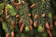 Pine Cones Posters - Forest Treasures Poster by Bonnie Bruno