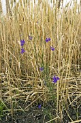 Cornfield Photos - Forking Larkspur (consolida Regalis) by Bob Gibbons