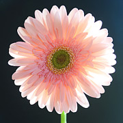 Gerbera Art - Fragile by Melanie Moraga