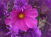 Asters Metal Prints - Friends will be Friends Metal Print by Richard Cummings