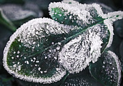 Late Prints - Frosty leaf Print by Elena Elisseeva