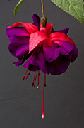 Fuschia Photo Prints - Fuchsia Print by Dawn OConnor
