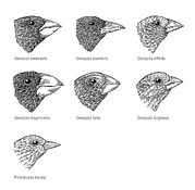 Labelled Prints - Galapagos Finches, Artwork Print by Gary Hincks