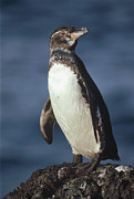 Frontal Metal Prints - Galapagos Penguin Spheniscus Mendiculus Metal Print by Tui De Roy
