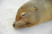 Espanola Posters - Galapagos Sea lion sleeping on beach Poster by Sami Sarkis