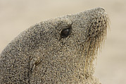 Galapagos Sealion Prints - Galapagos Sea Lion Zalophus Wollebaeki Print by Pete Oxford