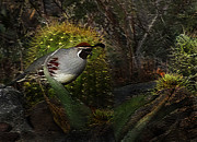 Surroundings Digital Art Posters - Gambels Quail Poster by Terril Heilman