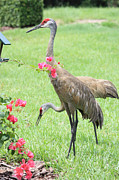 Sandhill Cranes Prints - Garden Visitors Print by Carol Groenen
