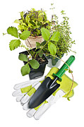 Gardening Photo Posters - Gardening tools and plants Poster by Elena Elisseeva