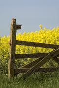 Farm Structure Prints - Gate Next To A Canola Field, Yorkshire Print by John Short