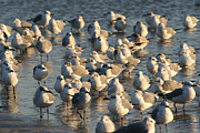 Wade Fishing Photos - Gathering of shore birds by Purcell Pictures