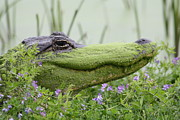 Alligator Bayou Photos - Gator VIII by Anastasia Smith