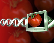 Genetics Prints - Genetically Modified Tomato Print by Victor Habbick Visions