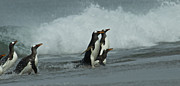 Penguins Photos - Gentoo Surfers by Mark H Roberts