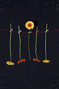 Clothesline Framed Prints - Gerbera Framed Print by Joana Kruse
