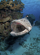 Osteichthyes Photos - Giant Grouper, Great Barrier Reef by Mathieu Meur