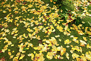 Fallen Leafs Photos - Ginkgo biloba leaves by Gaspar Avila