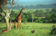 African Animals Photo Posters - Giraffe Poster by Sebastian Musial