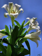 Lilies Digital Art - Glorious by Kristin Elmquist