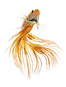 Betta Prints - Gold Betta Print by Visarute Angkatavanich