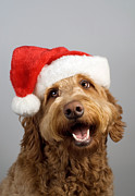 Tom Biegalski Metal Prints - Golden doodle santa hat Metal Print by Tom Biegalski