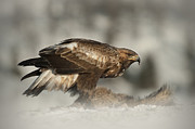 Red Bird In Snow Posters - Golden Eagle Poster by Andy Astbury